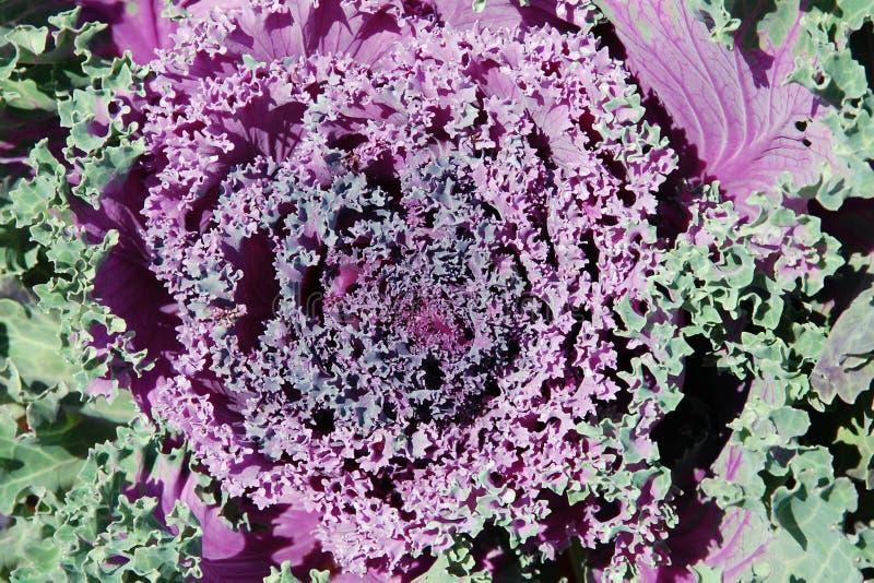 Purpurroter dekorativer dekorativer Kohl für Hintergrund lizenzfreies stockbild