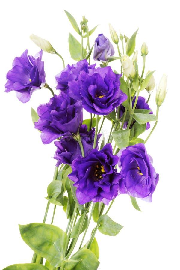Purpurroter Eustoma Blume des Vorteils stockbild