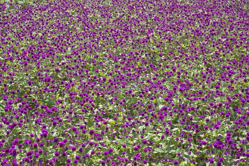 Purpurroter Flowerbed Lizenzfreie Stockfotos