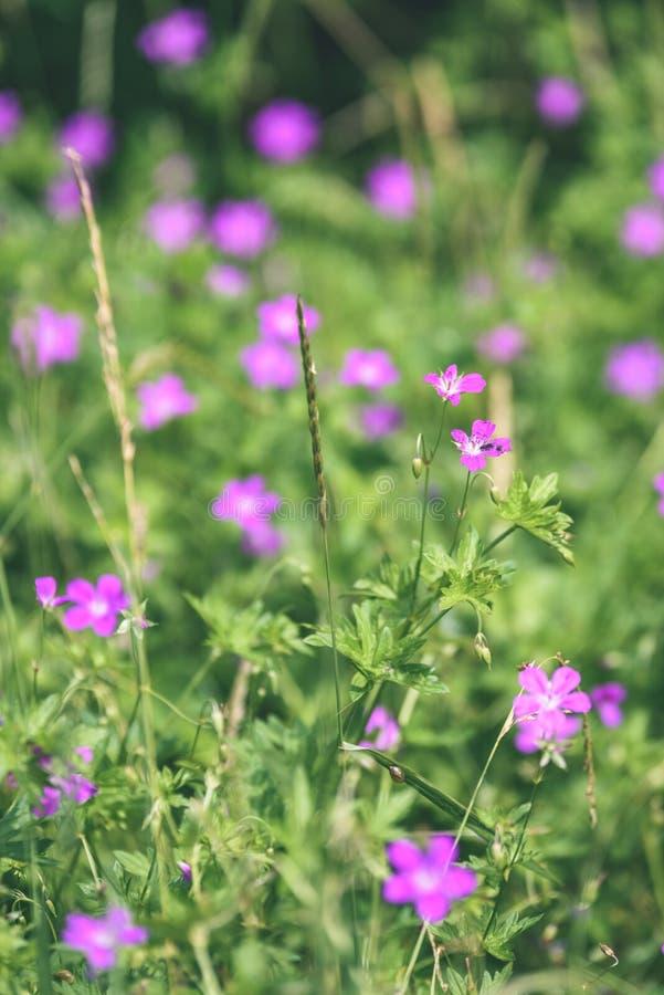 purpurroter Frühling blüht auf grünem Hintergrund - Weinlesepastellcol. lizenzfreie stockbilder