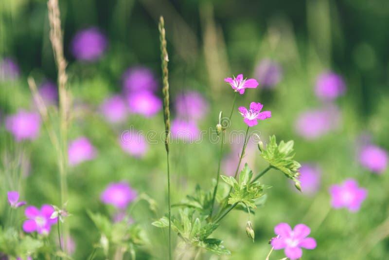 purpurroter Frühling blüht auf grünem Hintergrund - Weinlesepastellcol. lizenzfreie stockfotos