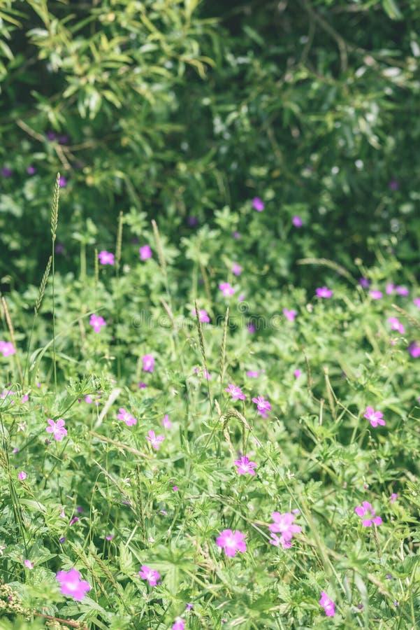 purpurroter Frühling blüht auf grünem Hintergrund - Weinlesepastellcol. lizenzfreies stockfoto