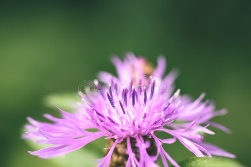 purpurroter Frühling blüht auf grünem Hintergrund - Weinlesepastellcol. stockbild