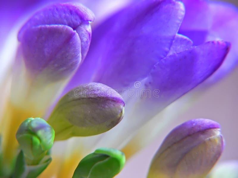 Purpurroter Freesia stockbilder