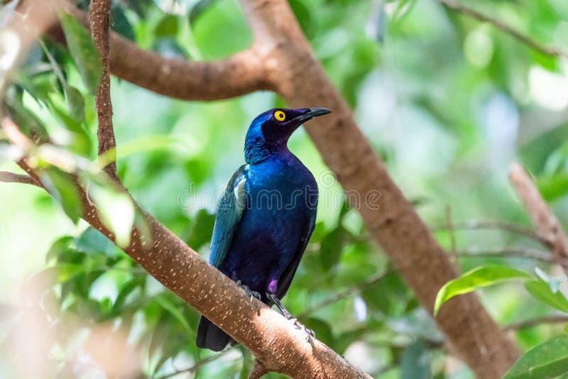 purpurroter glatter Star, der in einem grünen Baum sitzt lizenzfreies stockfoto