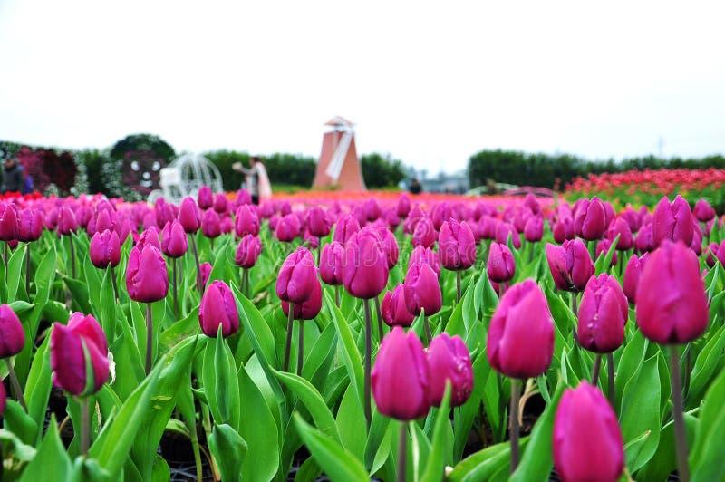 Purpurroter Hintergrund des Tulpengartens im Frühjahr lizenzfreie stockfotos