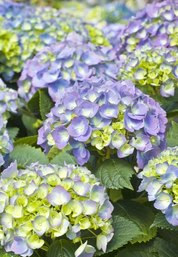 Purpurroter Hydrangea stockbild