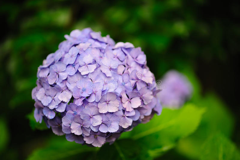 Purpurroter HydrangeaHortensia lizenzfreie stockfotografie