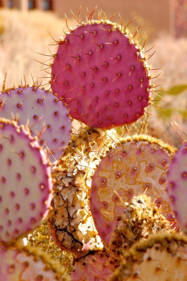 Purpurroter Kaktus stockbild