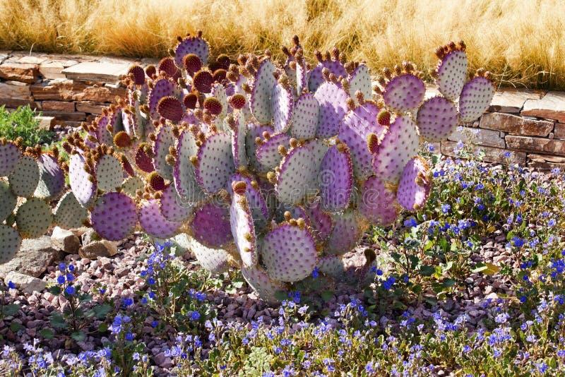 Purpurroter Kaktus-blaue Blumen verlassen Garten Arizona stockfoto