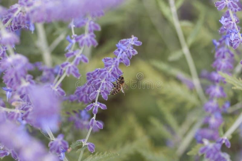 Purpurroter Lavendelabschluß oben stockfotos
