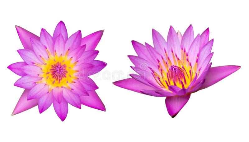 Purpurroter Lotos der Spitzen- und Seitenansicht lokalisiert auf weißem Hintergrund mit stockfotos