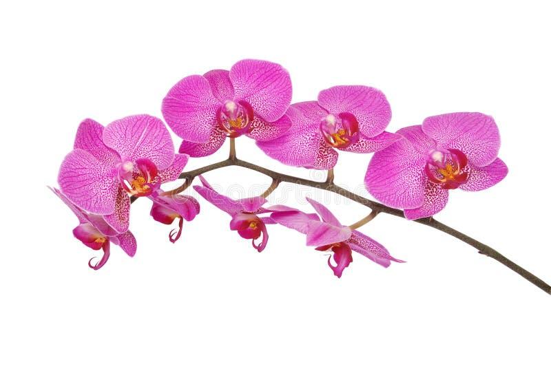 Purpurroter Orchideenblume Beschneidungspfad lizenzfreies stockbild