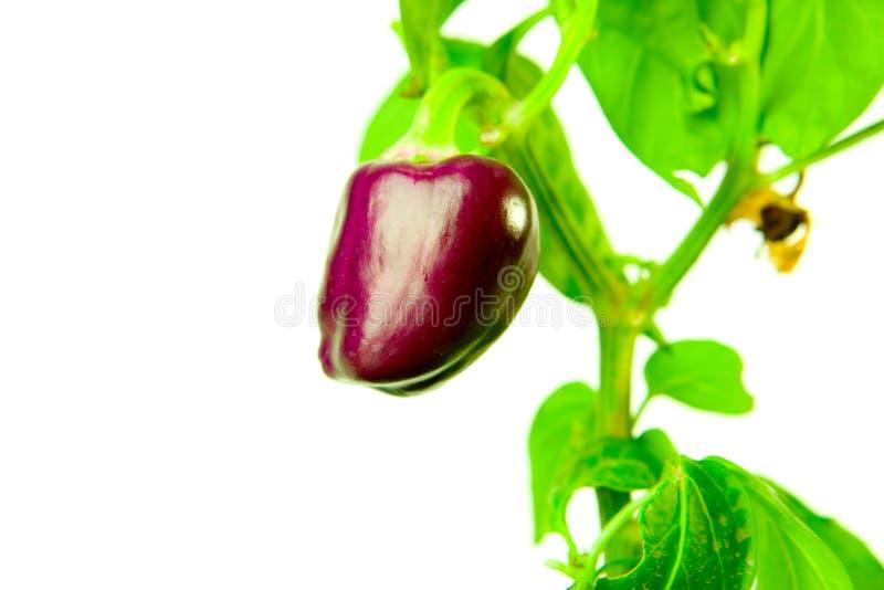 Purpurroter Pfeffer lizenzfreie stockfotografie