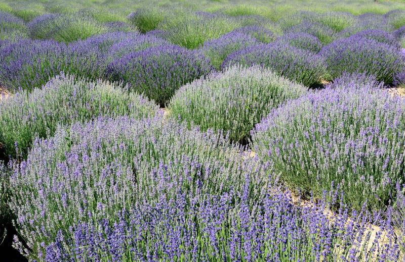 Purpurroter und weißer englischer Lavendel des Feldes stockfoto