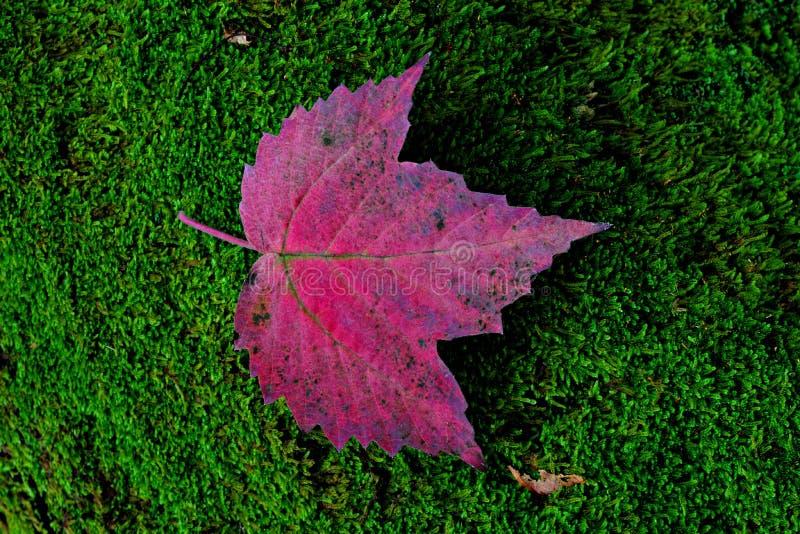 Purpurrotes Blatt auf Moos lizenzfreies stockbild