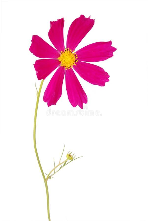 Purpurrotes Blume kosmeya lizenzfreies stockbild