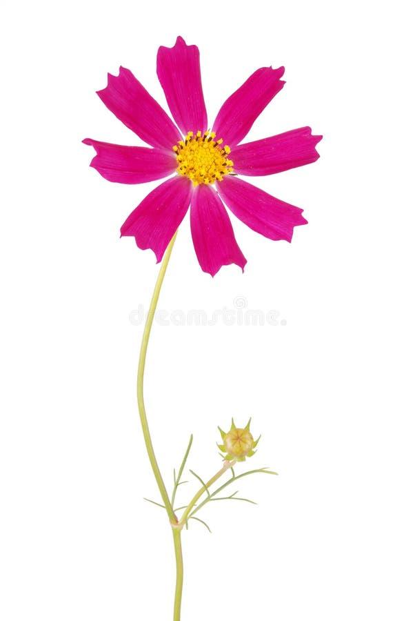 Purpurrotes Blume kosmeya stockfotos