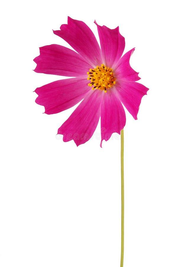 Purpurrotes Blume kosmeya stockfotografie
