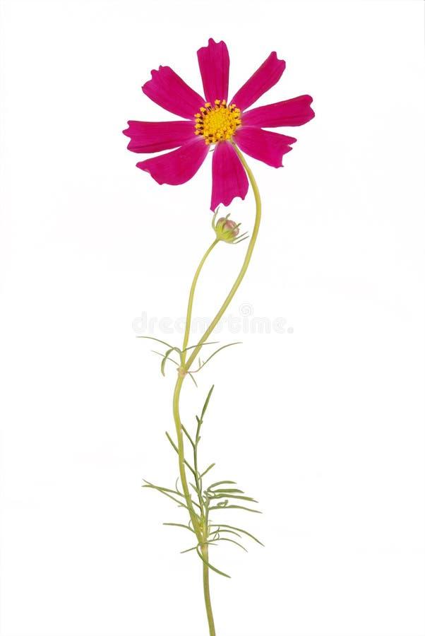 Purpurrotes Blume kosmeya lizenzfreie stockbilder