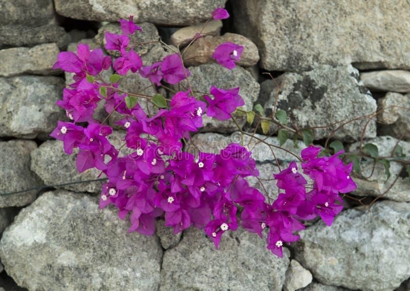 Purpurrotes Bouganvilla auf grauer Steinwand stockfoto