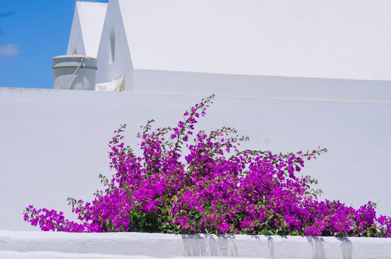 Purpurrotes Bouganvilla im Garten stockfotos