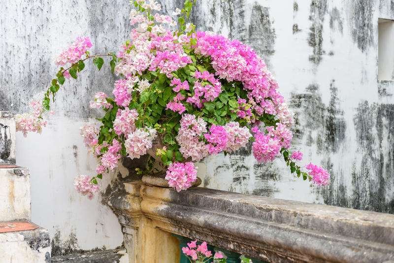 Purpurrotes Bouganvilla im Weinlesezement-Blumentopf lizenzfreie stockfotos