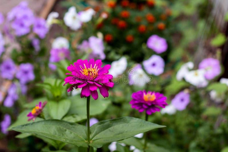 purpurrotes cynia im Garten lizenzfreies stockfoto