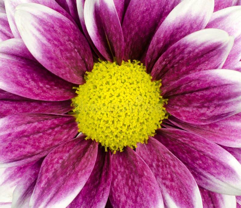 Purpurrotes Dahlie-Blumenmakro stockfotos