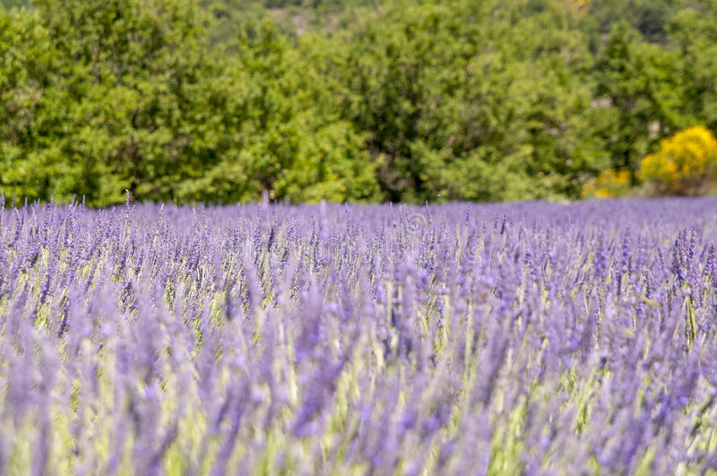 Purpurrotes fielt Lavander stockbilder