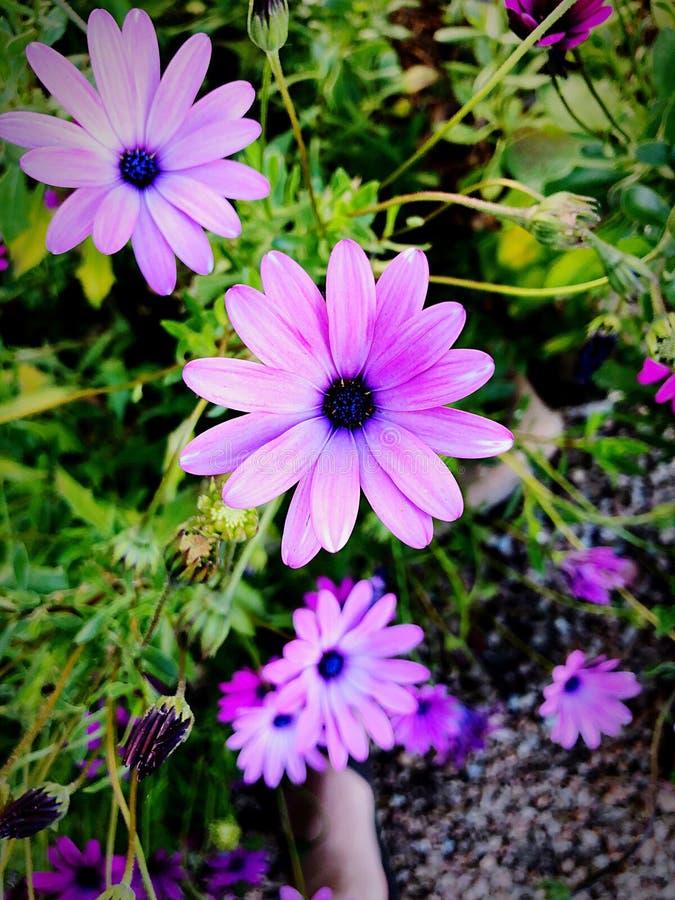 Purpurrotes G?nsebl?mchen in einem Garten lizenzfreies stockfoto