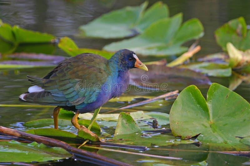 Purpurrotes gallinule stockfotos