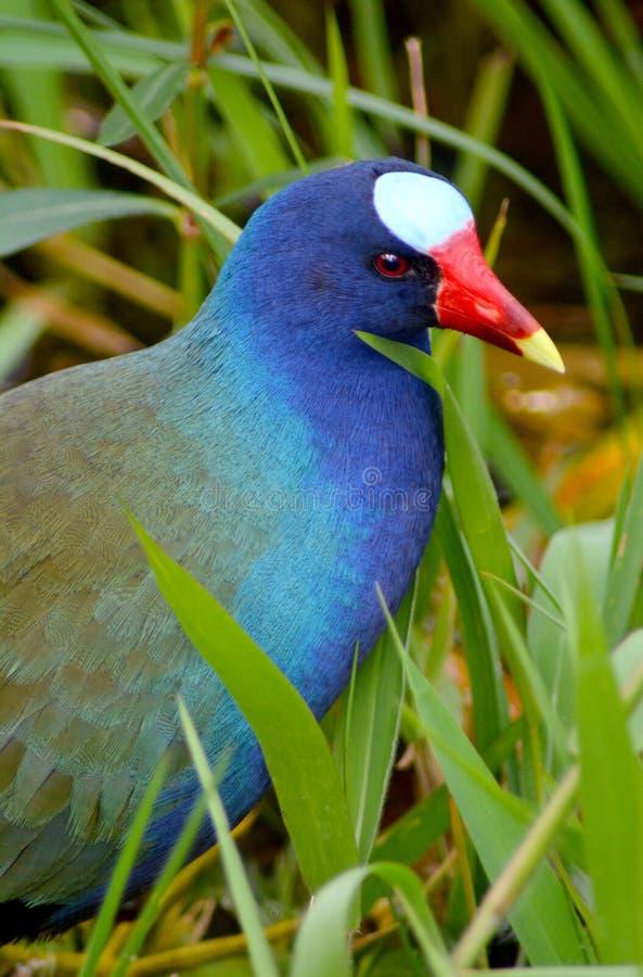 Purpurrotes Gallinule stockbilder