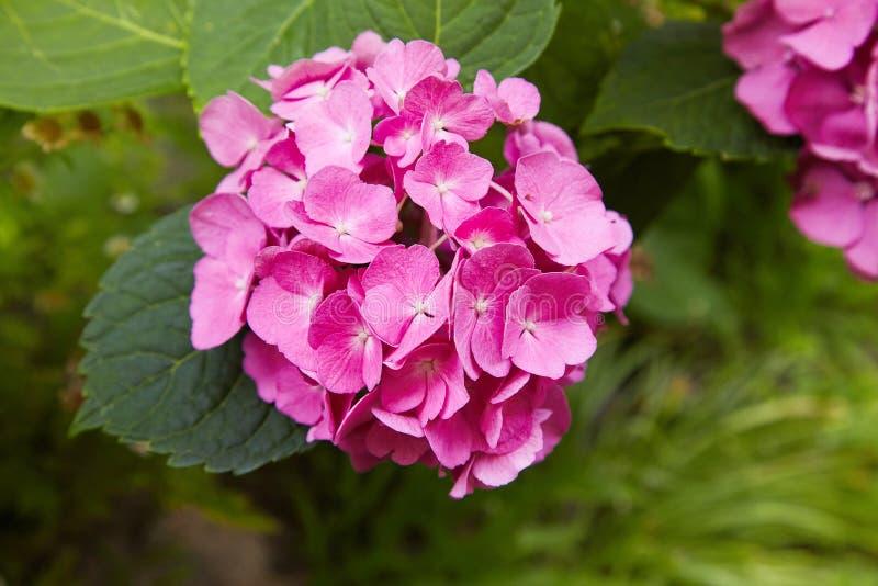 Purpurrotes Hortensieblume Hortensie macrophylla, das im Frühjahr blühen und Sommer in einem Garten lizenzfreies stockfoto