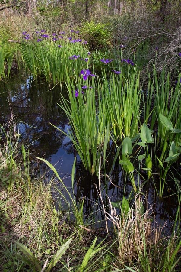 Purpurrotes Irisblumenwachsen wild im Louisiana-Bayousumpfwasser stockbilder