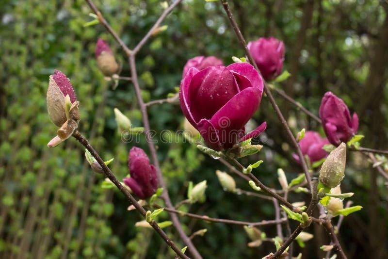 Purpurrotes japanisches Magnolienblütenblühen lizenzfreie stockbilder