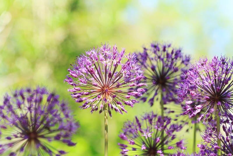 Purpurrotes Lauchblumenwachsen im Garten stockbilder