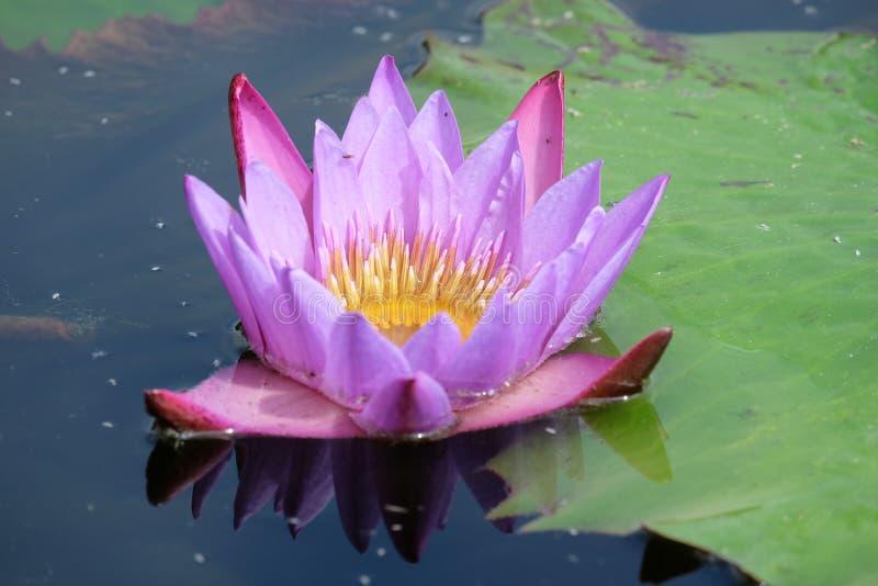 Purpurrotes nettes des Wasserrosen-Grüns lizenzfreie stockbilder