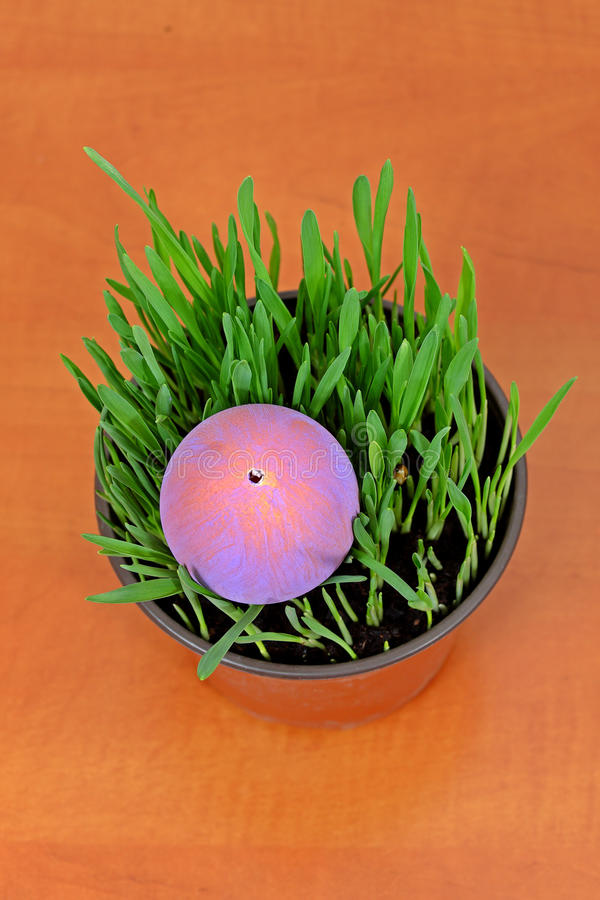 Purpurrotes Osterei in den grünen Sämlingen auf Holztisch lizenzfreie stockbilder