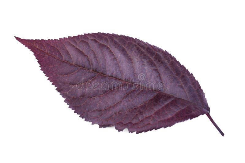 Purpurrotes Pflaumenblatt lokalisiert auf einem weißen Hintergrund Rote Blätter der Pflaume Buntes Laub Frische Herbstkräuter Str lizenzfreies stockfoto