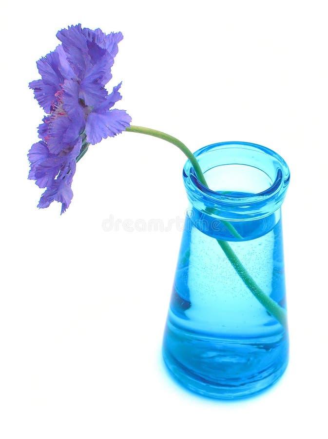 Purpurrotes scabiosa im blauen Vase stockbild
