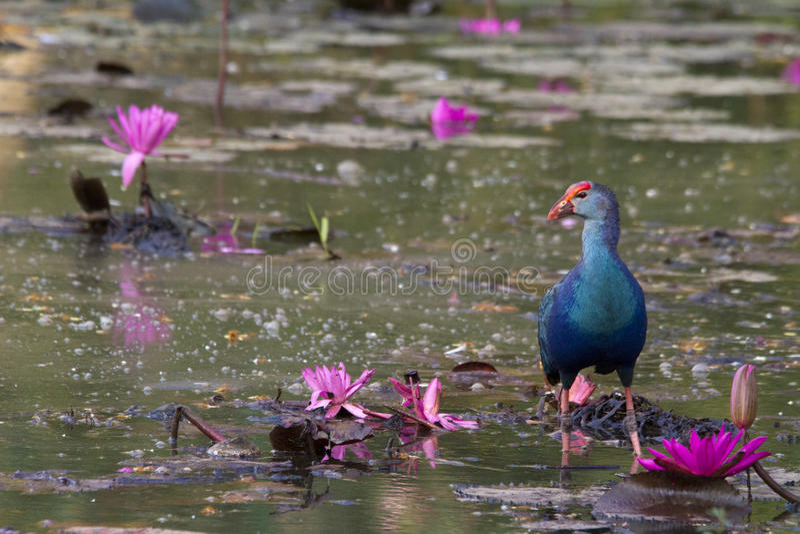 Purpurrotes Swamphen stockfotografie