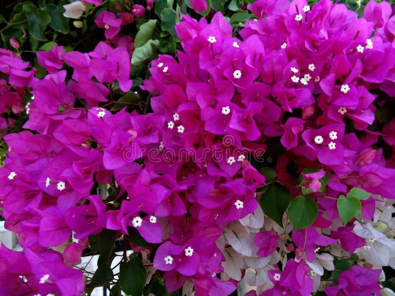 Purpurrotes und weißes Bouganvilla stockfoto