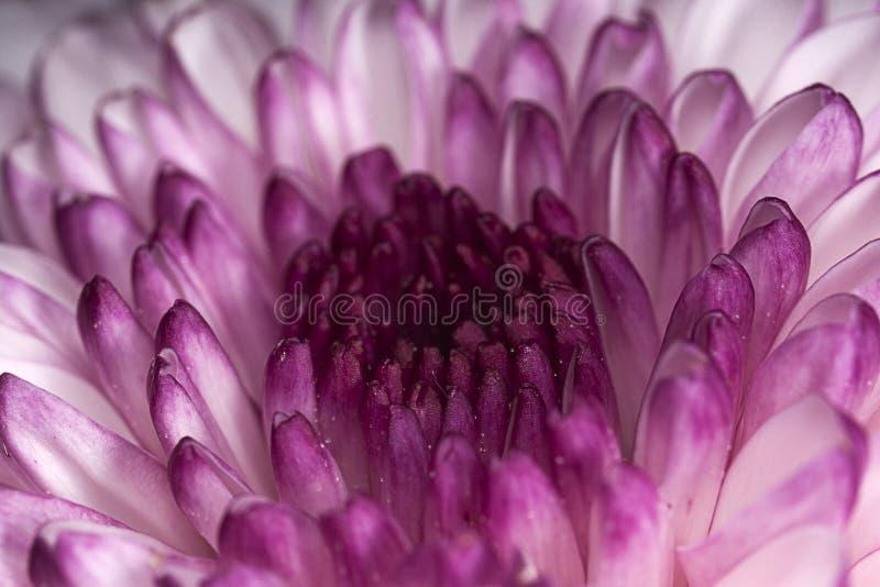Purpurrotes weiße Blumen-Kopf-Makro stockbilder