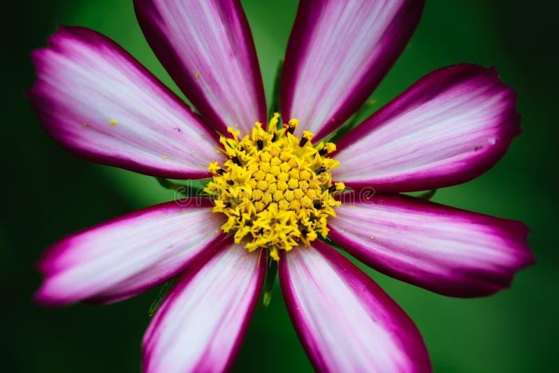 """Purpurrotes, weißes, klares rosa wilde Blume """"Wild Kosmos Flowerâ€- Kosmos bipinnatus, das während des Frühlinges und des Somm lizenzfreie stockfotografie"""