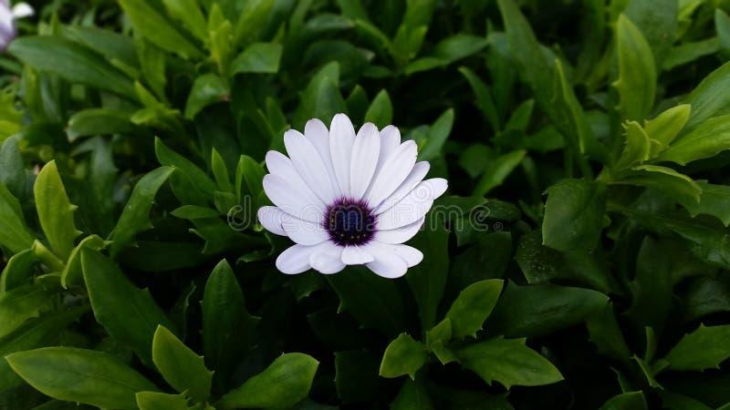 Purpurrotes weißes Mittelgänseblümchen stockfoto
