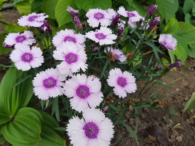 purpurt royaltyfri foto