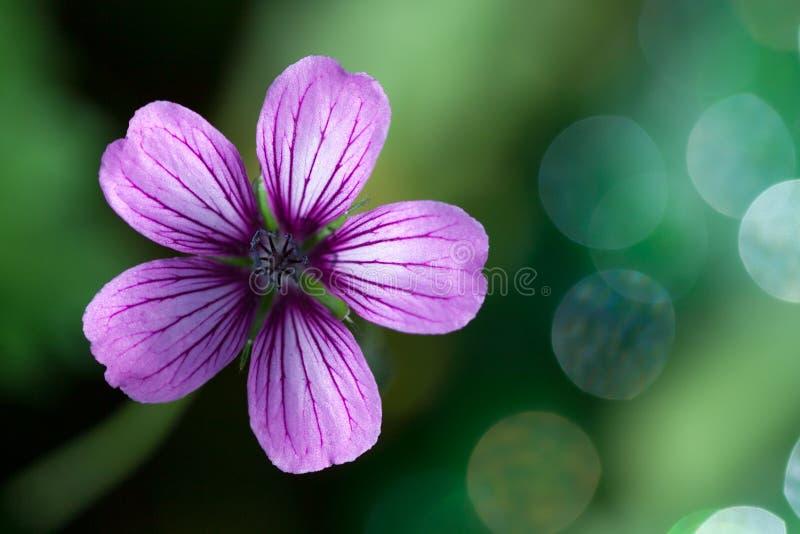 purpurt wild för pelargonlavendel royaltyfri foto