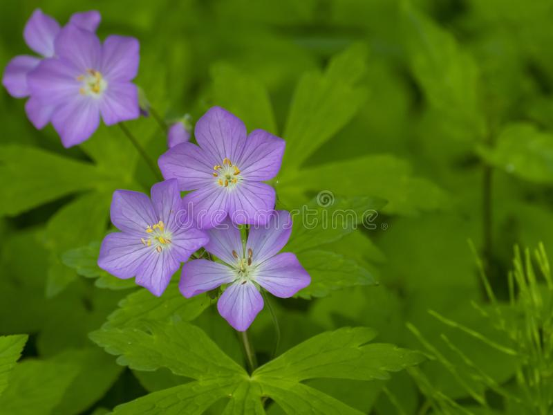 purpurt wild f?r blomma royaltyfri bild