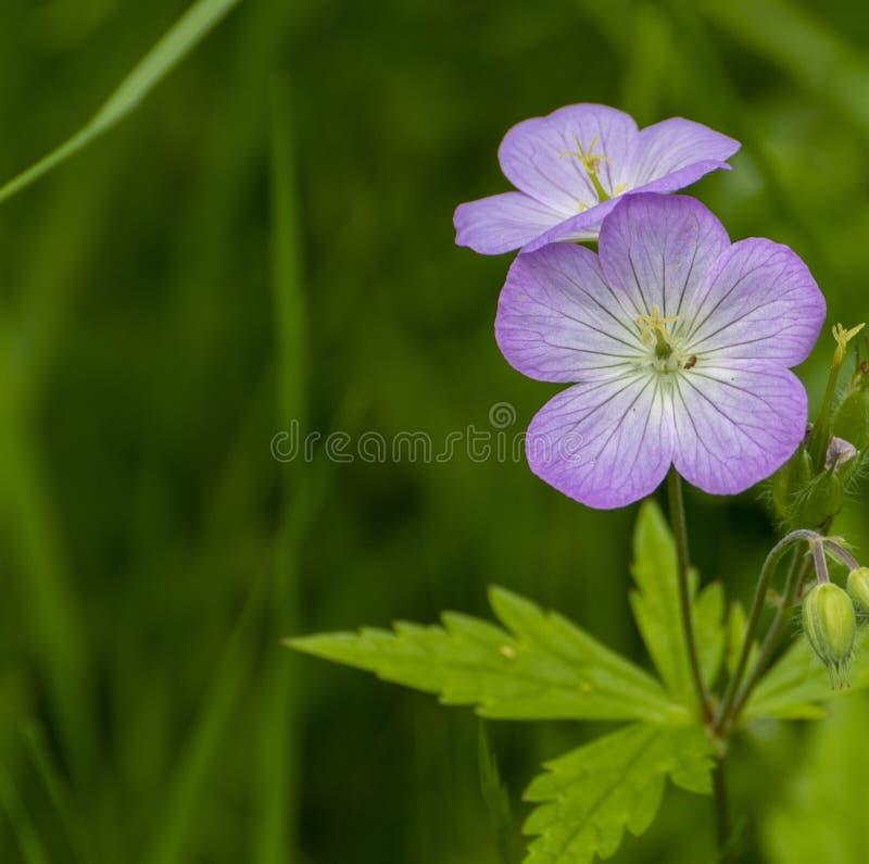 purpurt wild f?r blomma royaltyfria foton